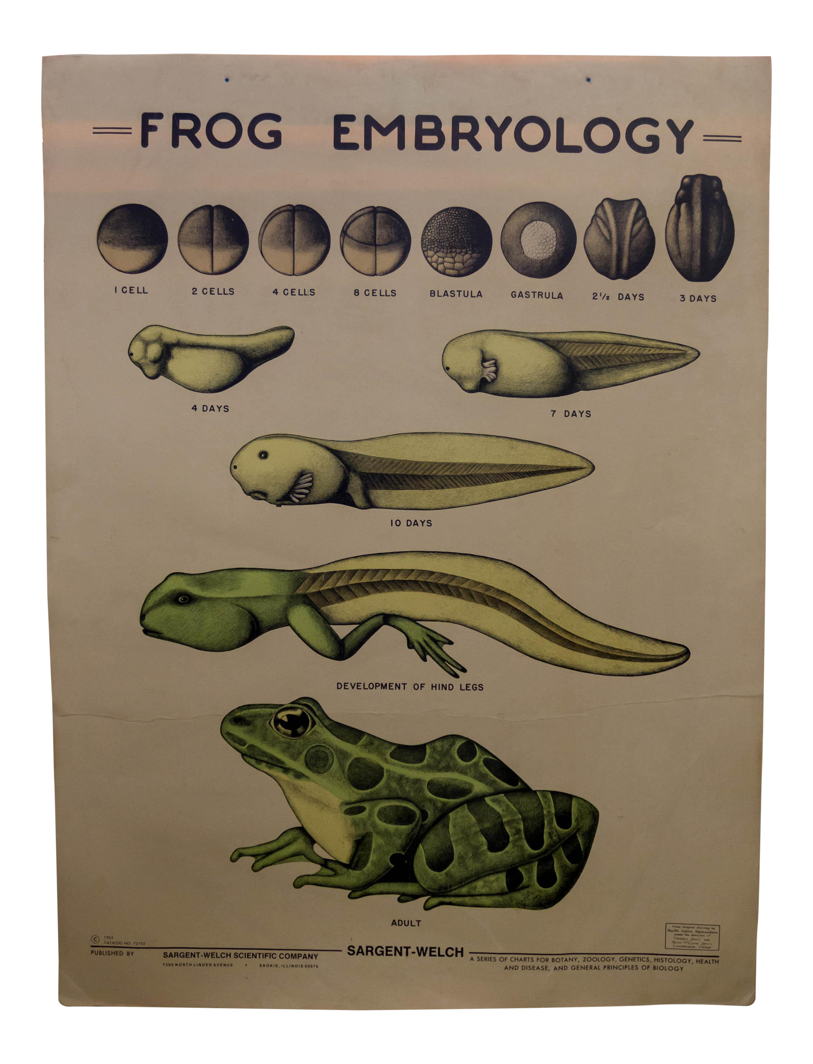 embryology of the frog Another way to look at serially sectioned frog and chick embryos what we show here is the first part of a project we call 4-d embryology--embryos in three dimensions and their changes over time.