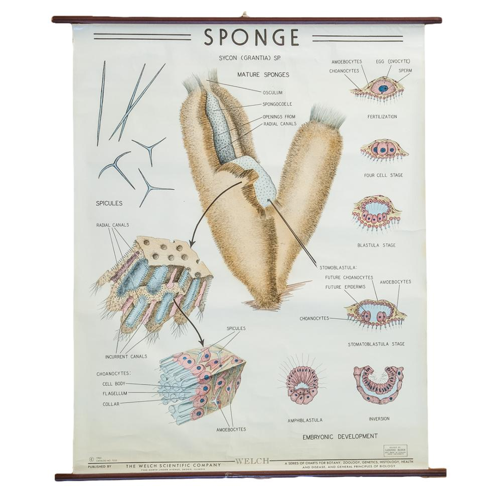 Vintage Biology Pull Down Chart Of Sponge Grantia Chairish