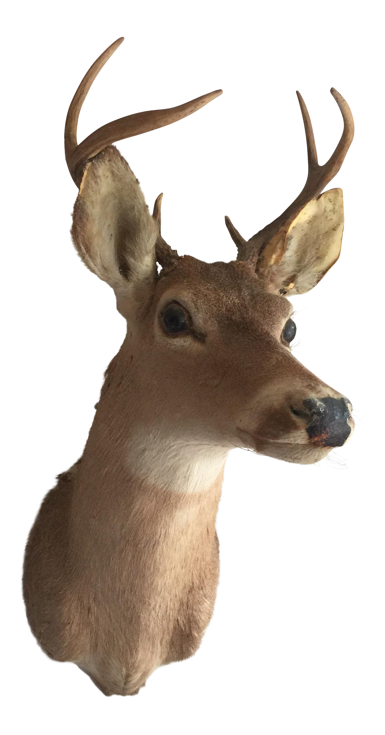 Deer Bust With Antlers Chairish