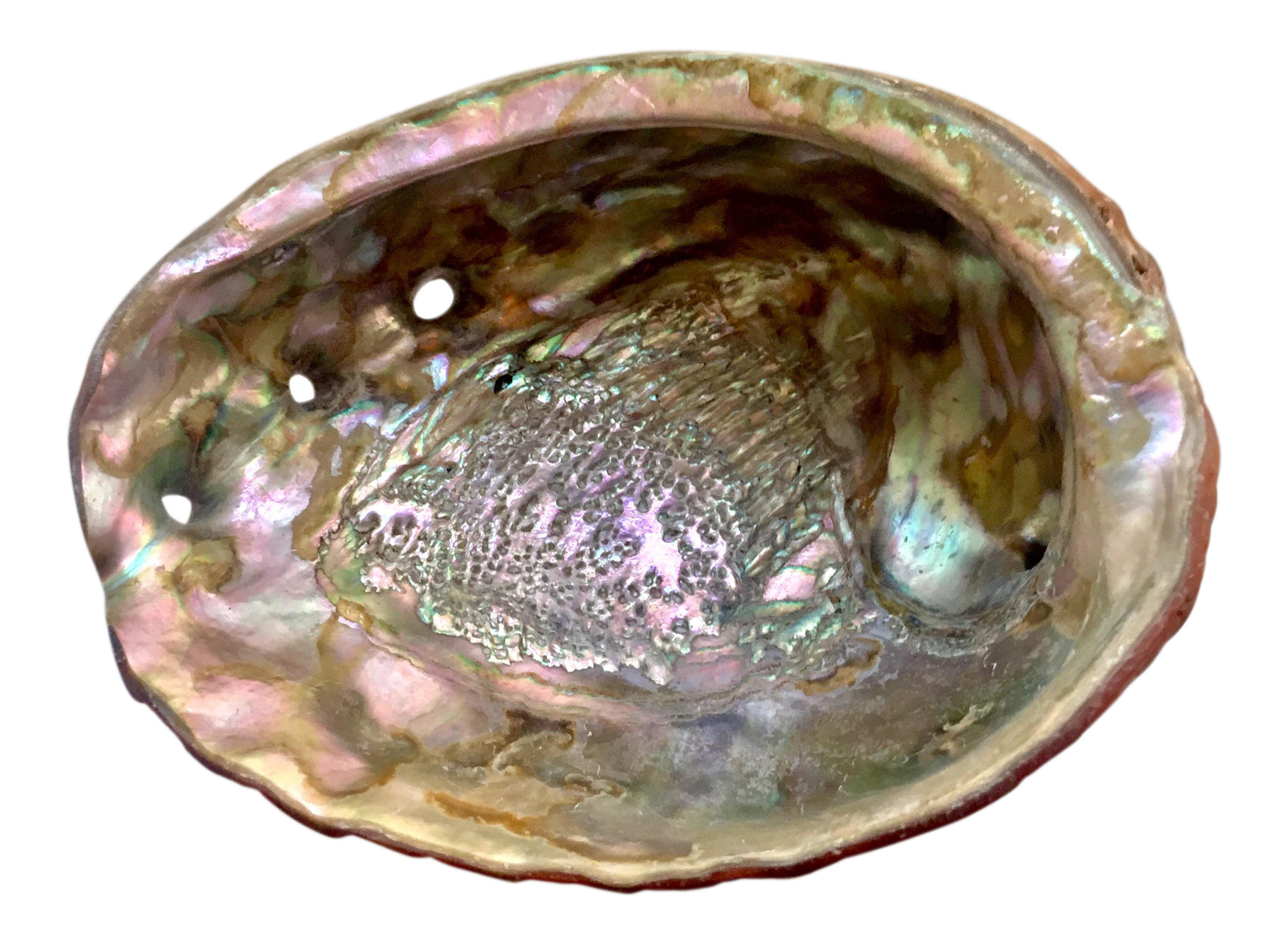 Natural Iridescent Abalone Shell Chairish