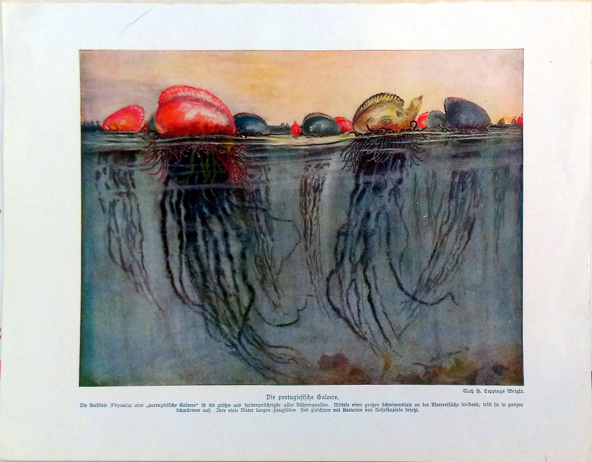 Portuguese jellyfish lithograph chairish for Jellyfish chair design within reach