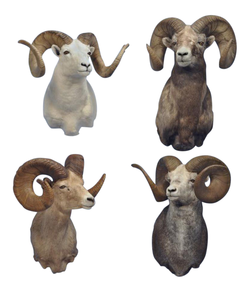 Quot Grand Slam Quot Of Monster North American Wild Sheep Set Of