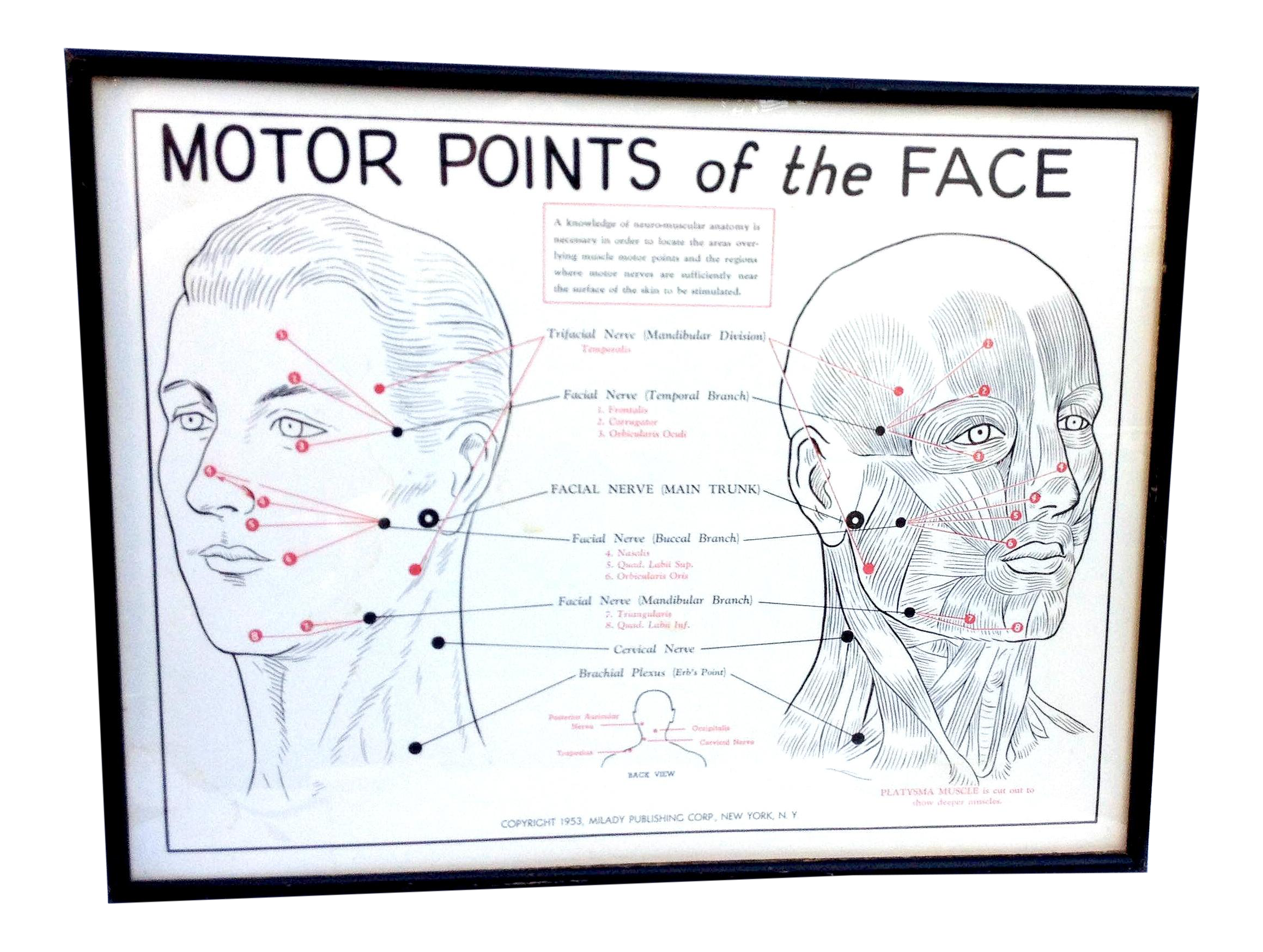 1953 Motor Points Of The Face Diagram Chairish