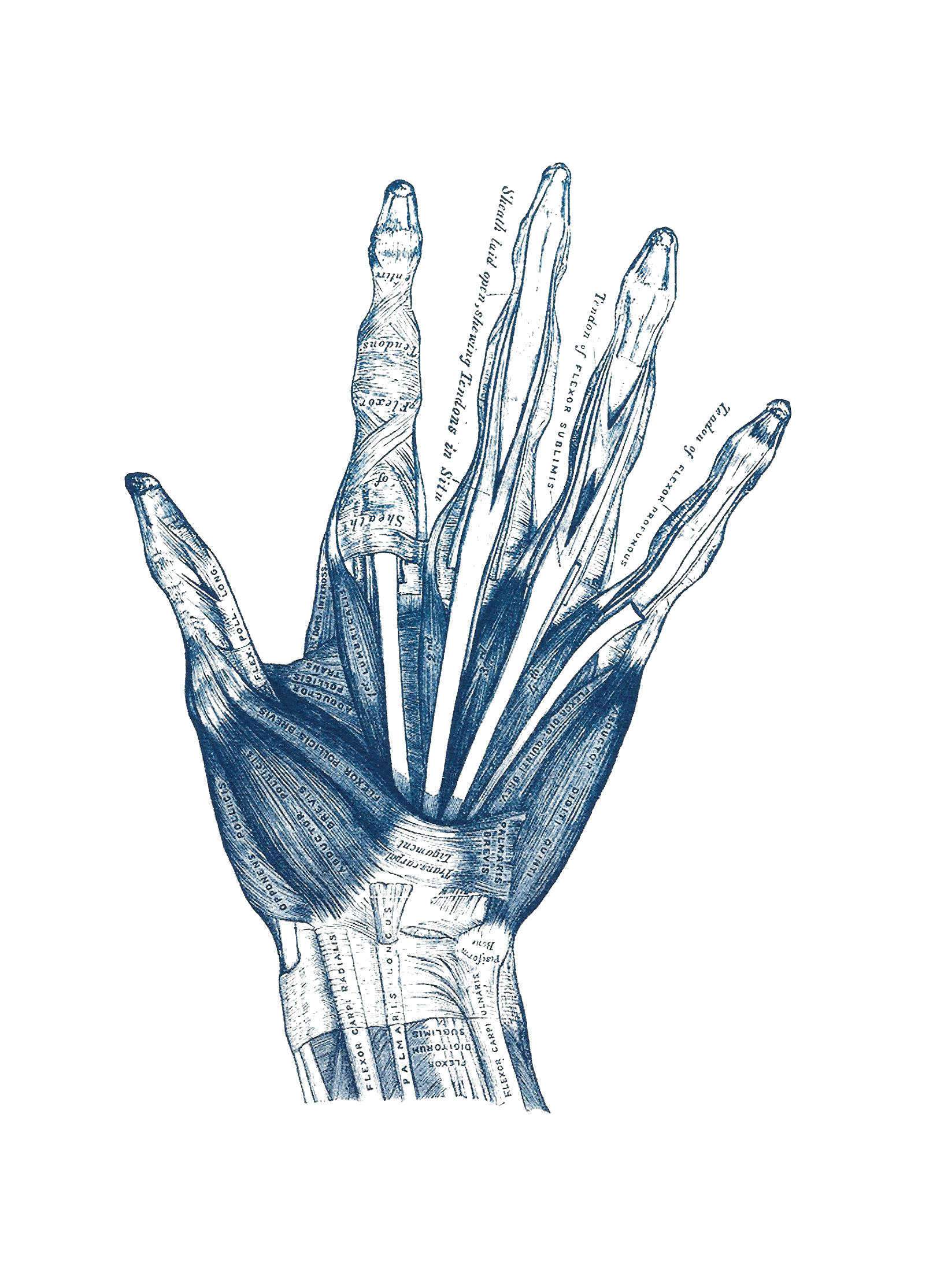Vintage Hand Anatomy Illustration Cyanotype Print Chairish
