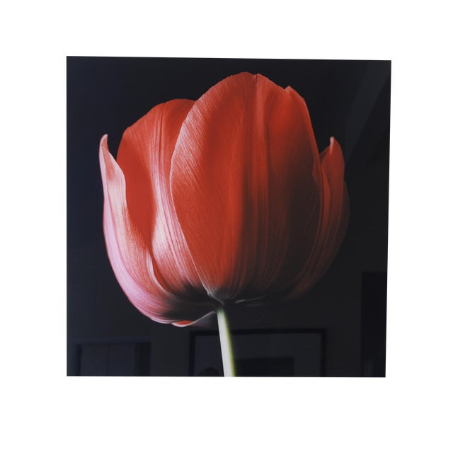 """""""Red Tulip on Black"""" Photograph - Image 4 of 6"""