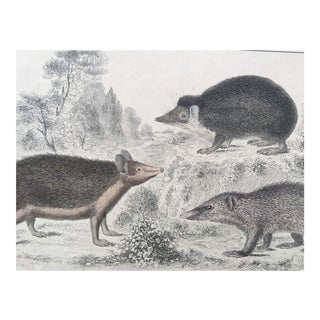19th Century Oliver Goldsmith Hedgehog Engraving