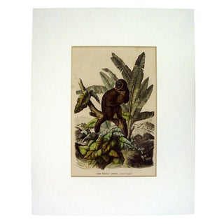 Woolly Lemur 1863 Lithograph