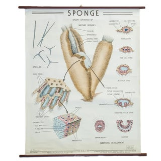 Vintage Classroom Science Chart of Sponge
