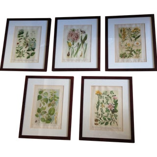 Antique Botanical Prints in Mahogany Frames - 5