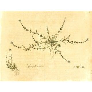 Antique Botanical Engraving Includes Mat, C. 1795