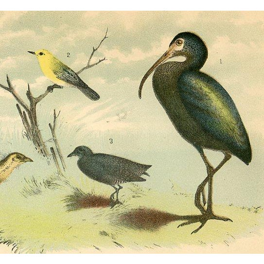 1878 Antique North American Bird Print - Image 2 of 2