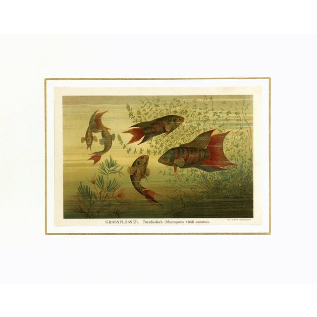 1894 Antique Paradise Fish Stone Lithograph - Image 3 of 3