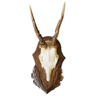 Roe Deer Antler Trophy With Foliate Carved Back