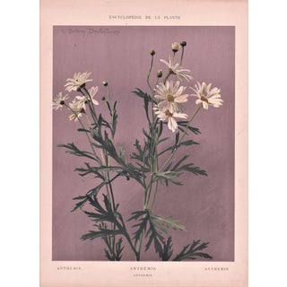 1902 Anthemis Chromolithograph Botanical Print
