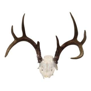 Vintage Natural 8-Point Deer Antler
