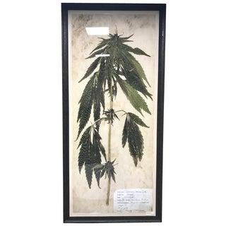 Extra Large Archival Botanical Specimen Framed Print - Cannabis Sativa Herbarium