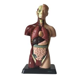 Small Medical Model Sculpture
