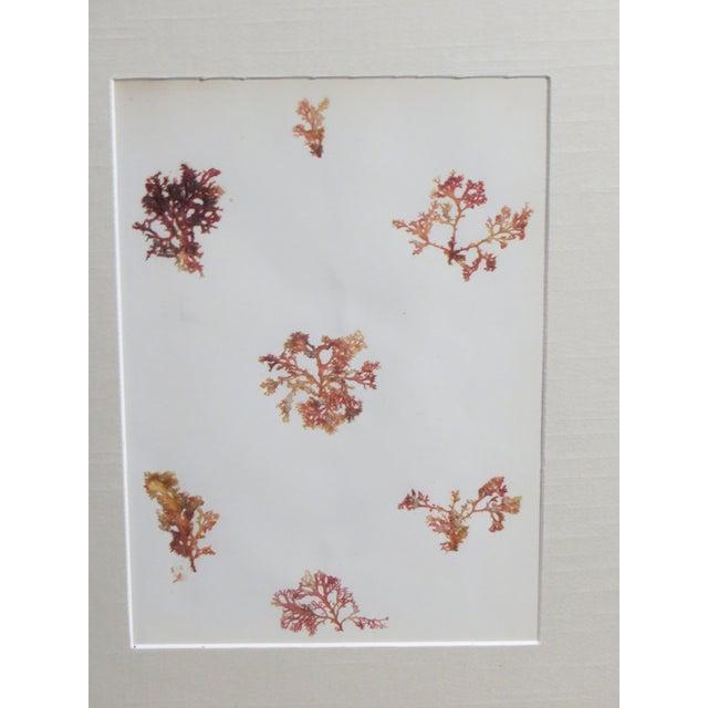 Image of 1880s Seaweed Specimen