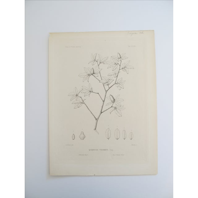 Quercus Toumeyi Antique Botanical Print - Image 2 of 4