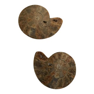 Ammonite Split Fossil Specimen- A Pair