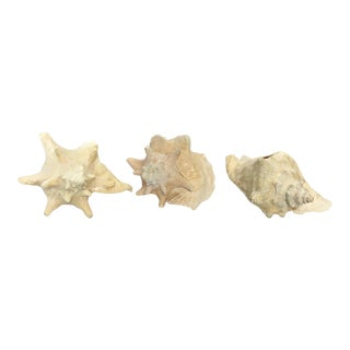 Vintage Large  Queen Conch Shells - Set of 3