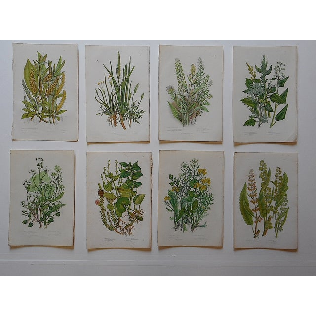 Antique Botanical Lithographs - Set of 8 - Image 2 of 3
