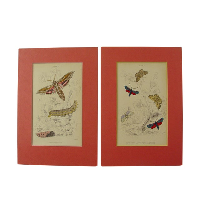 Image of Antique Hand Colored Moth Engravings - A Pair