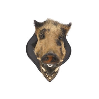 Taxidermy Young Boar Head Mount