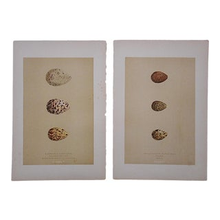 Antique Egg Lithographs-Set of 2-Sandpiper Eggs