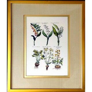 Botanical Print by Emanuel Sweert
