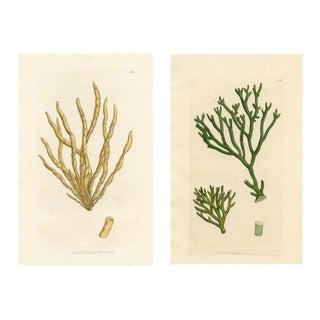 Antique Seaweed Prints - Pair