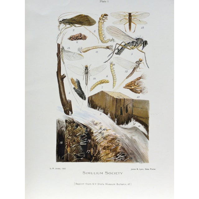 Image of Simulium Flies Print, Circa 1900