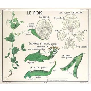 French Botanical Sweet Pea Chart
