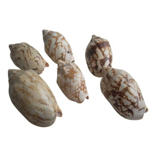 Natural Volute Seashells- Set of 6