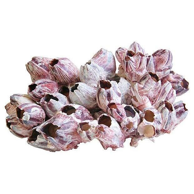 Large Natural Barnacle Cluster Specimen - Image 1 of 5
