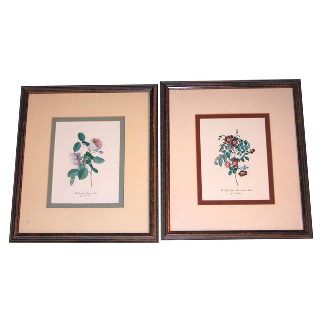 Image of English Roses Prints by G. D. Ehret - A Pair
