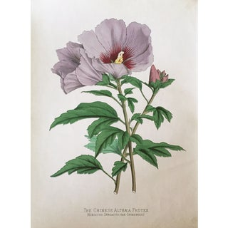 Antique Chinese Hibiscus Botanical Print