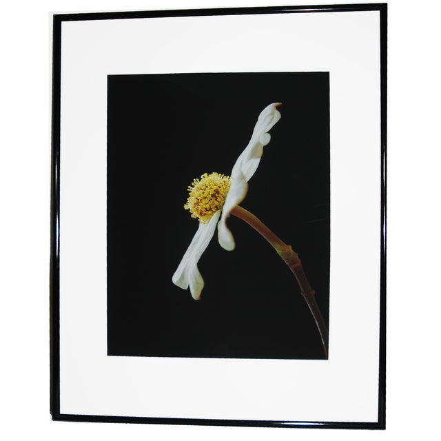 Image of Fine Art Photography Dogwood Limited Edition 1/10