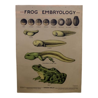 1963 Frog Embryology Classroom Illustration by Ruth Anne Richardson