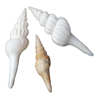 Philippino Natural Turrid Seashells - Set of 3