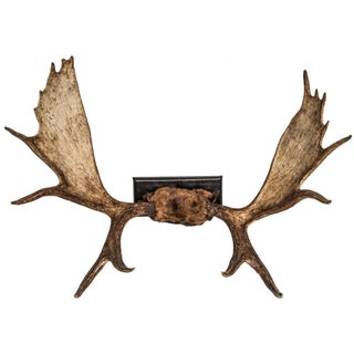Vintage Moose Antlers on Leather Base