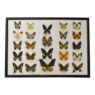 Collection of Butterfly Specimens