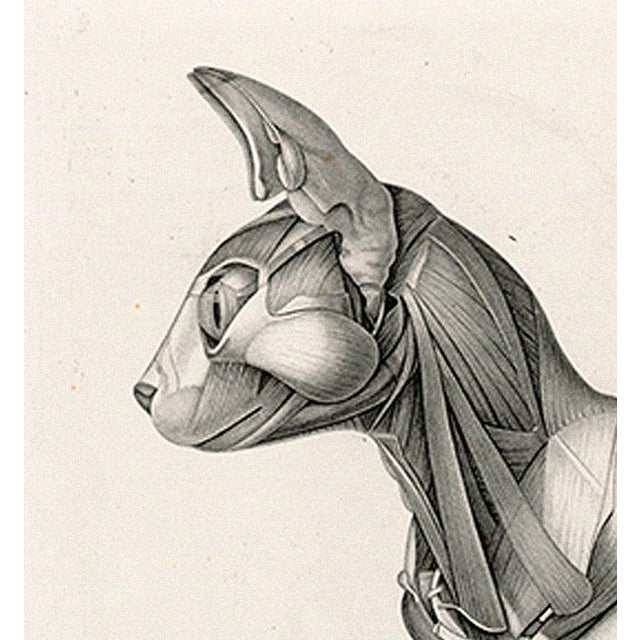 Anatomy of a Cat - Print of Illustration, 1800s - Image 4 of 5