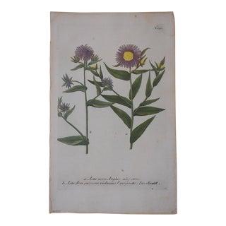 Johann Weinmann Botanical Mezzotint Print Circa 1740