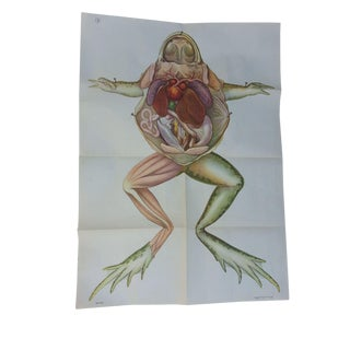 Vintage Anatomy Science Poster - Frog