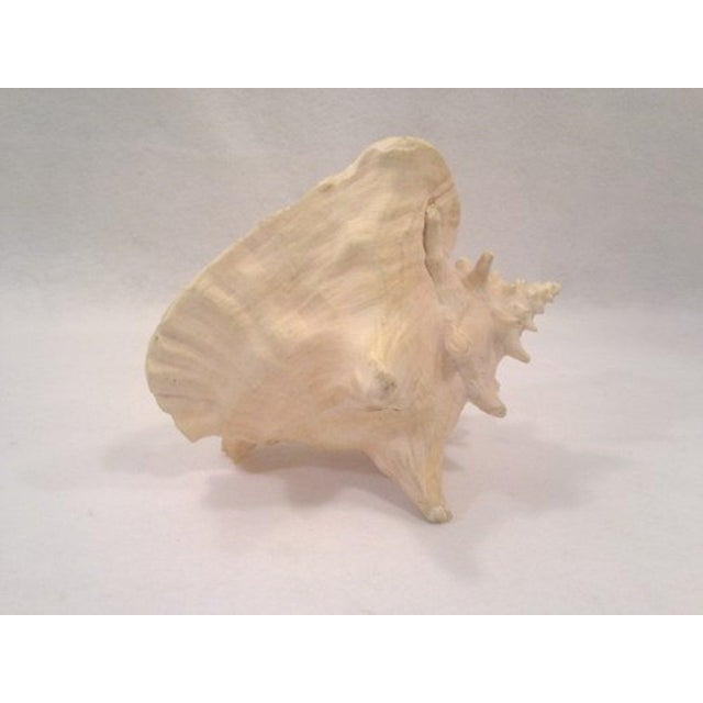 Image of Vintage Large Natural Conch Shell