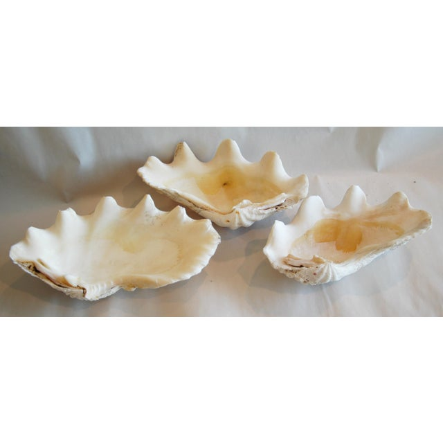 Antique Nautical Seashells Clamshells - Set of 3 - Image 4 of 10