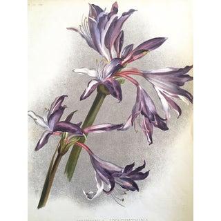 Griffin Hyacinthina Botanical Print