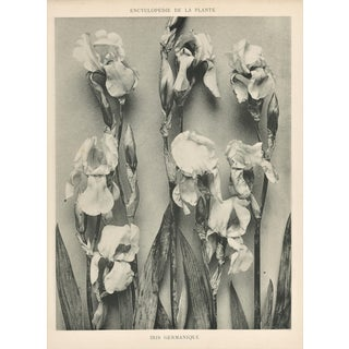 Vintage Botanical-Bearded Iris-Art Photography