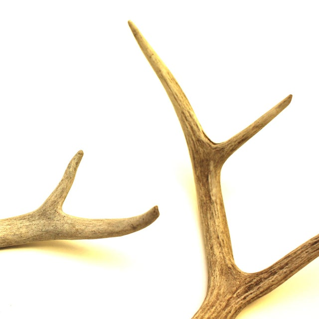 White-Tailed Deer Antlers - Pair - Image 3 of 4
